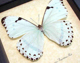 Real Framed Mint Blue Morpho Butterfly Conservation Shadowbox Display 609
