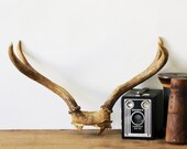 Natural Home Decor - Vintage Antlers - Home Decor - Taxidermy - Brown - Neutral - Nature - Cabin - Fall