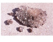 5 Large Bee Wasp Nests or Combs for Decorating for Clair