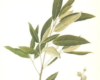Holm Oak, Acorn, Evergreen, Vintage Tree Print, Botanical Book Plate 27, Hardwood, Nature, Landscape, Frameable Art, 1977, Raymond