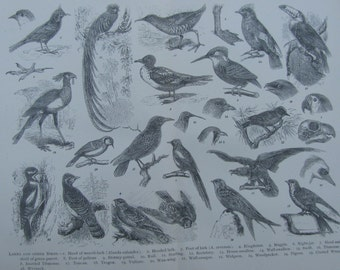 SALE!SALE!SALE!Original Antique Print from the Cyclopedia International from 1898 Larks and other Birds