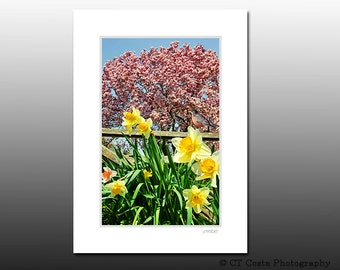 Daffodils and Magnolia, Signed Matted Print, Spring wall art, fits 5x7 inch frame