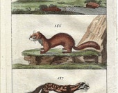 1809 Wilhelm's Conversations On Natural History Tiny Antique Mammal Print Stoat, Weasel Etc Figure 185
