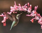 Hummingbird at the cactus garden: 5 x 7 photograph