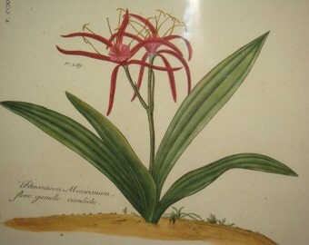 Pancratium Mexicanum Framed Botanical Print Reproduction