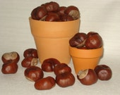 Conkers - Real Horse Chestnuts, Lot of 40, DIY Craft Floral Wreath Supplies, Holiday Decor, Eco Nature Goods for craft, Children Kids Craft