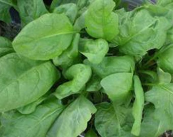 5 Giant Aztec Spinach Seeds-1249