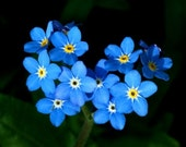 Forget-Me-Not Seed, Bulk for seed packets