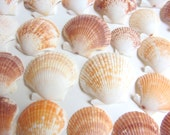 Beach Decor - Seashells - Scallop Shells - 20 pieces