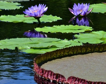 Water Lilies and Lily Pads 8x10 Print