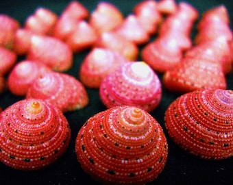 "Multipack  3/4"" strawberry top shells seashell ocean beach nautical Hawaiian coastal decor"