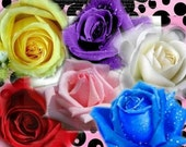 60 Seeds 6 Colors Red Purple Pink Blue White Yellow Rose Perennials Double Flowers Seeds B3006