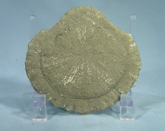66mm Iron Pyrite Fools Gold Suns Dollars Lapidary Specimen w/ Stand 1410E