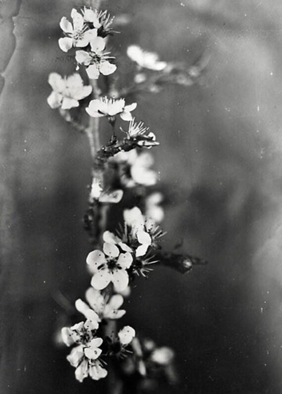 5x7 Metal Print: Cherry Blossoms