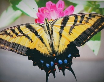 matted photo, 5 x 7, butterfly, nature photography