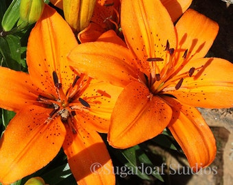 Orange Lily 1 -- Fine Art Floral Photography Print -- Photo, Home Decor, Flowers, Art