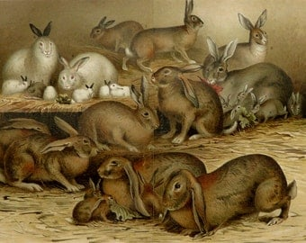 1897 Antique print of RABBITS, different species. House Rabbits. Rabbit. Domestic Animals. Pets. 119 years old gorgeous lithograph.