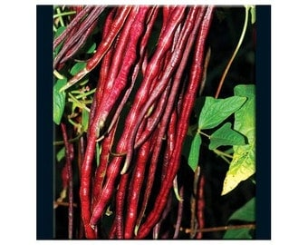 Chinese Red Noodle Bean Heirloom Seeds Non GMO