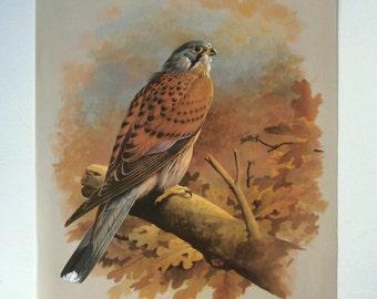Vintage Bird Book Plate Page of Kestrel in oak tree printed 1965 Illustration