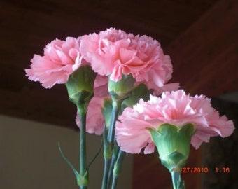 Pink Carnation Chabaud La France, Perennial Flower, 20 Seeds