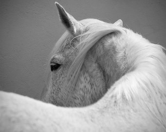 Equine art, horse photography, fine art photo, 16x16, 20x20, white horse, large square print