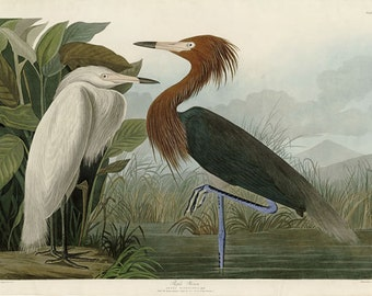 Audubon Purple Heron no.256 Large Reproduction Print Bird