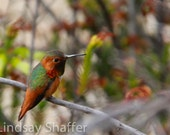 Photo of Rufous Hummingbird Perched on a Branch - Nature Photography