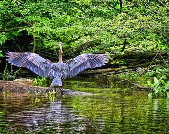 Wildlife Art, Wildlife print, Waterfowl Art, Blue Heron Print HDR, Wildlife, Waterfowl, bird, photo