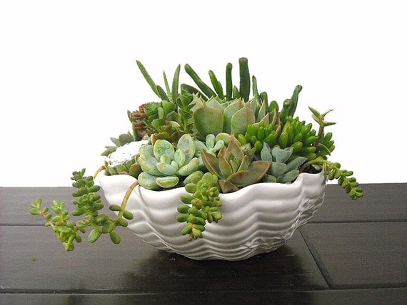 Succulent mix in a white clam shell ceramic pot dish garden - Dish garden containers ...
