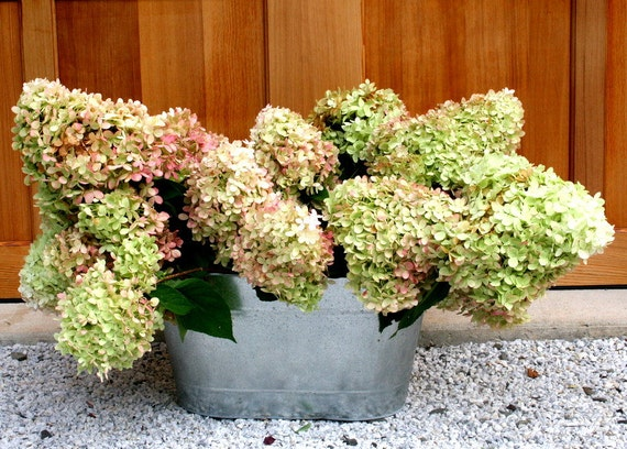 Dried hydrangea s for fall decorating and wedding