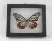 Taxidermy - Butterfly Pinned and Mounted in Riker Mount