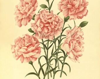 Pink carnation Antique flower art print vintage botanical prints garden wall art home decor wall art old prints French art Victorian art