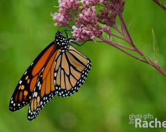 Monarch Butterfly. Photo of a monarch butterfly on a pink flower. Flowers, floral, nature, orange, black, grass, sky, green, pink. Canvas.