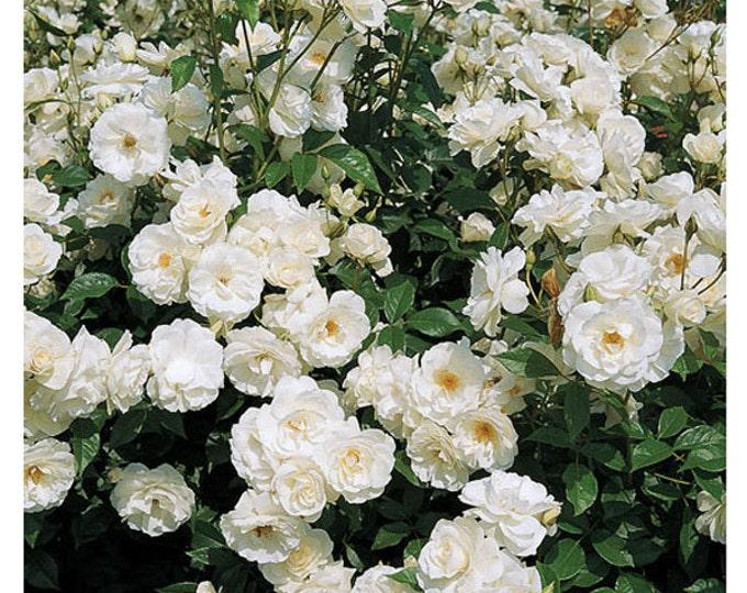 Iceberg Rose Floribunda Shrub Rose Organic Grown - Shipped in Container Growing - Own Root Rose Non-GMO - Spring Shipping