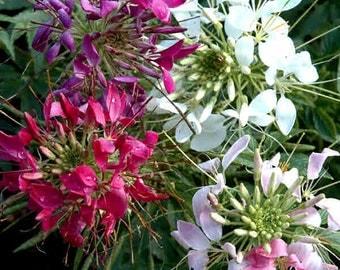 Cleomy seeds ,  mix multicolor flower seeds, flower seeds, code 105, gardening, greek flowers,