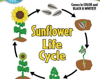Sunflower Life Cycle Clipart Set - Includes 20 Graphics