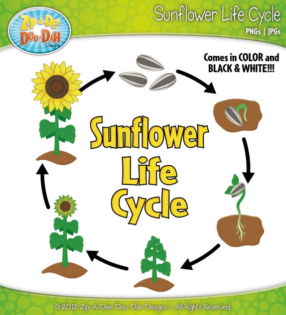 Items similar to Sunflower Life Cycle Clipart Set - Includes 20 ...