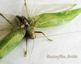 Real Grasshopper Tettigonidae Leaf Mimic With Long Mustache In Shadowbox