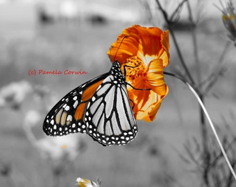 Butterfly photo: Monarch butterfly print in black and white and orange butterfly art 8x10