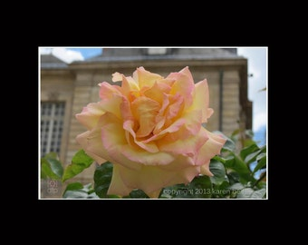 Pastel Rose Photograph Print at Rodin Museum in Paris, 8x10 matted to 11x14, or 5x7 matted to 8x10, Home Décor, Wall Art