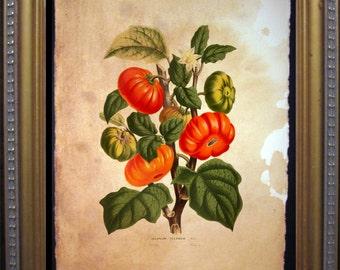 Tomatoes Art Print - Tomato Art Print - Tomato Garden Art Print - Vintage Art Print on Tea Stained Paper - Vintage Art Print