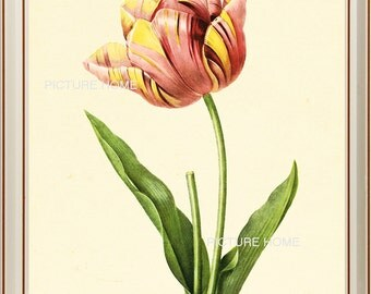 Tulip Botanical Print 179 Beautiful 8X10 Antique Redoute Art Room Decoration Wall Art to Frame Garden Nature Summer Spring
