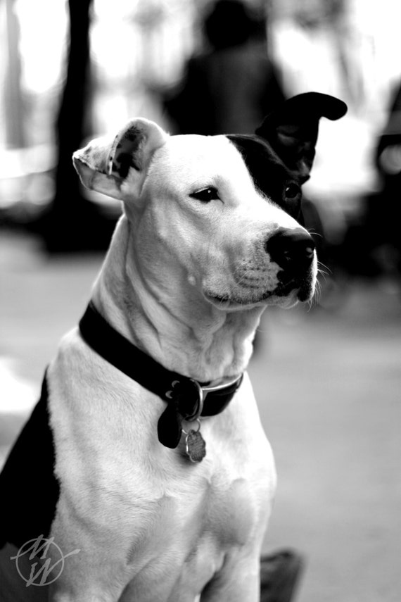 Items similar to Dog Photos, Pitbull, Black and White ...