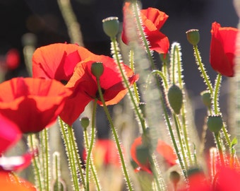 Flower Photography, Fine Art Photography - Red Poppies