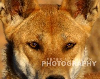 Magnificent Dingo Portrait - Simpson Desert - Outback Australia