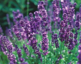 500 *HEIRLOOM* English Lavender Seeds