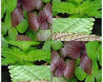 50 x GREEN SHISO Perilla Seeds - Beefsteak Plant - BRITTON Seed - Purple Mint - Salad & Micro Mix - 80 - 85 Days