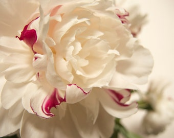 White on white peony, macro close-up, floral, fine art photograph