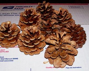 10 Pine CONES Pinecones Natural Wreath Decoration Craft Potpourii Supply