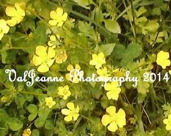 Flower Photography Spring Yellow Buttercups Field Fine Art Photograph Print